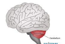 cerebellum diagram