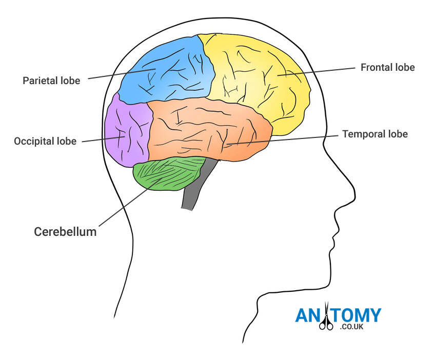 location of cerebellum