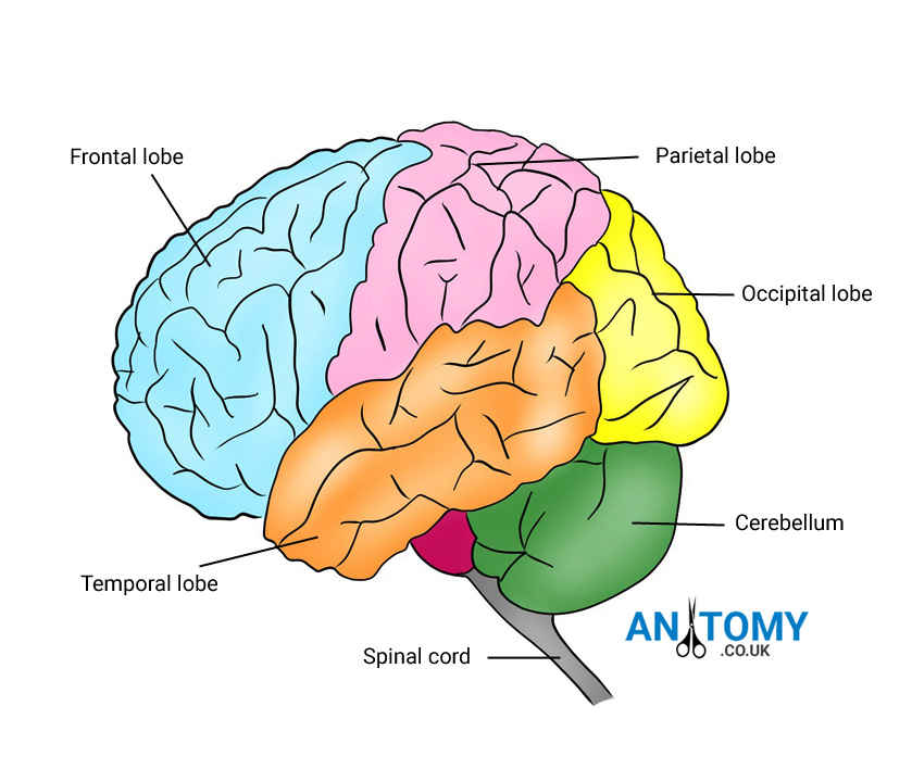 Human Brain Structure Location Function Parts Pictures