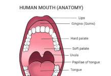 human mouth anatomy
