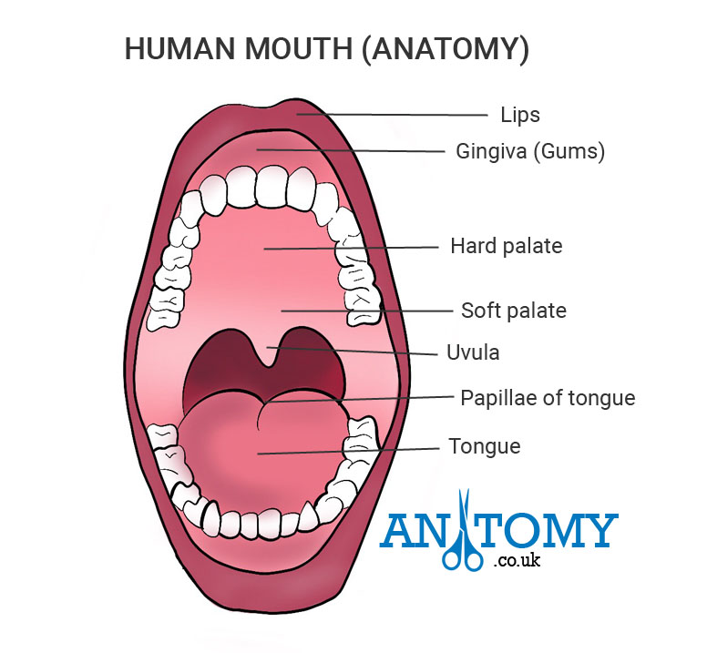 Human Mouth Structure and Anatomy with Pictures, Functions