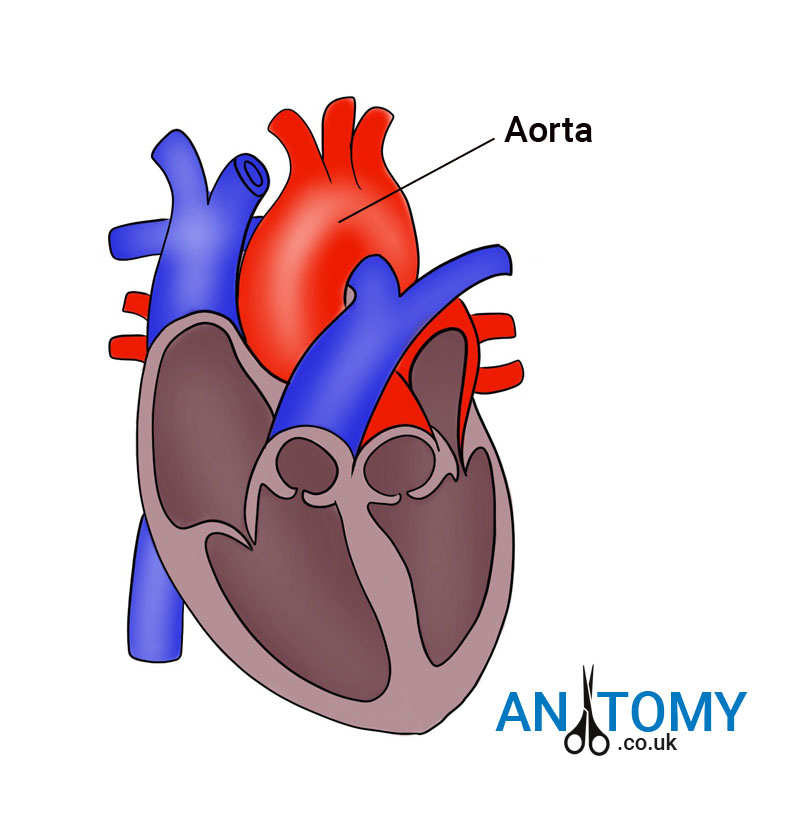 The Aorta Anatomy Location Structure Function Diagram