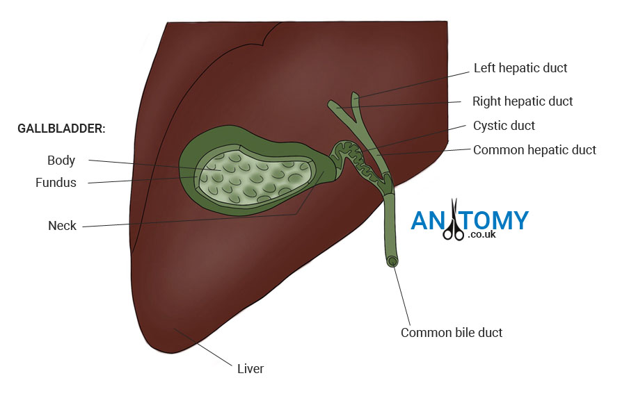 Diagram Gallbladder Location Gallery - How To Guide And ...