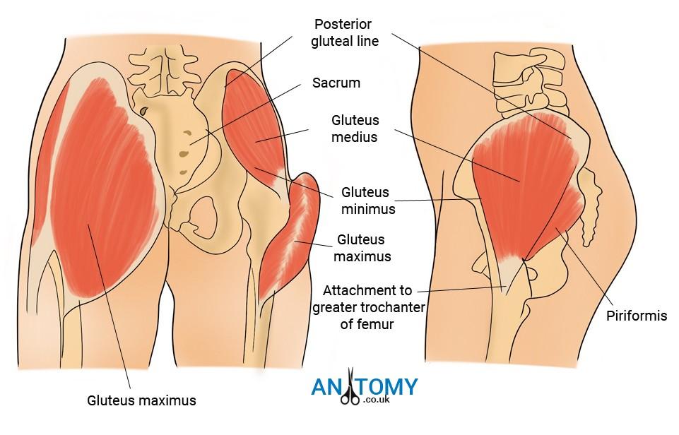Greater Trochanter - Location, Functions, Anatomy, Diagrams
