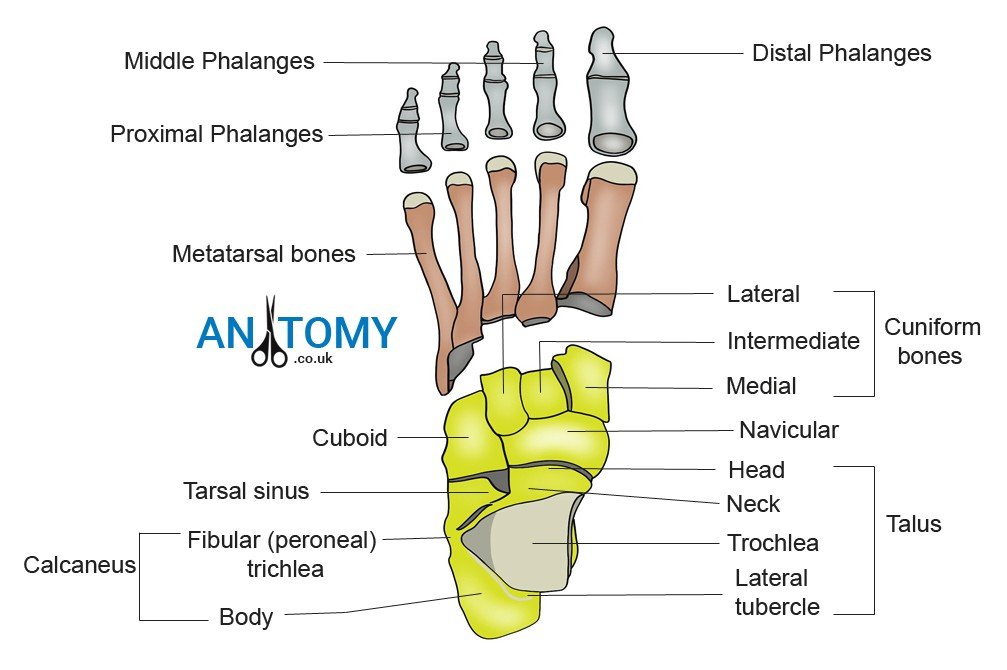 phalanges of the foot